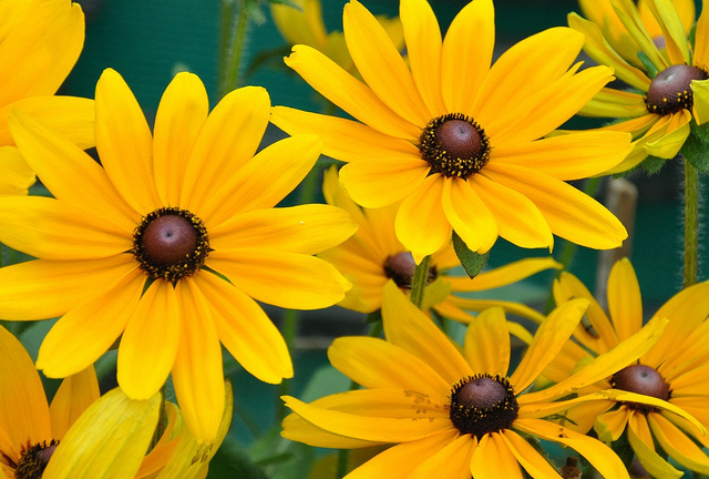 Maryland state flower black eyed susan Black eyed susans