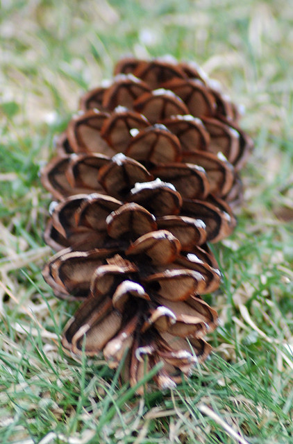 Maines State Flower Female eastern white pine cone