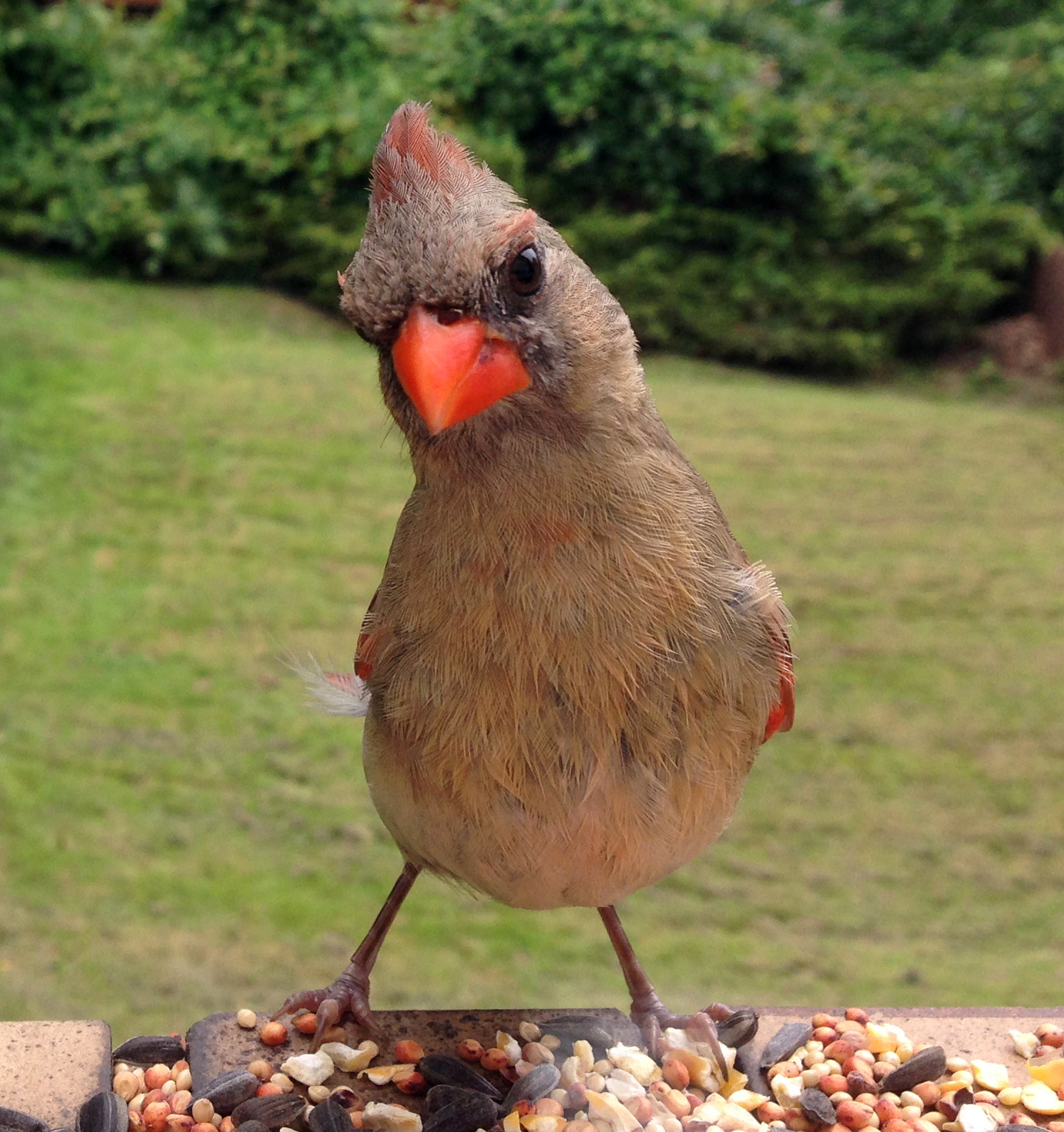 Indiana State Bird Northern Cardinal