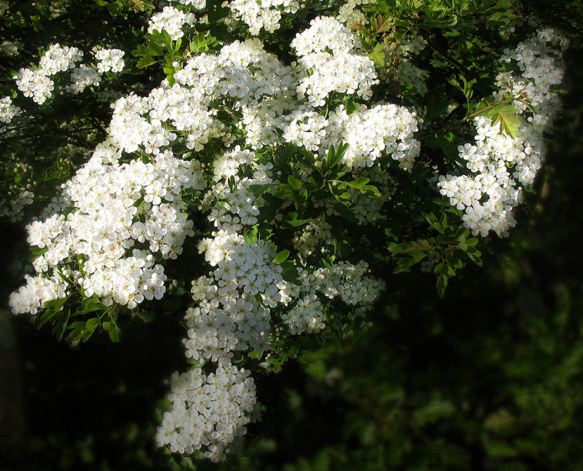 White hawthorn blossom state symbols usa white hawthorn blossoms mightylinksfo Gallery