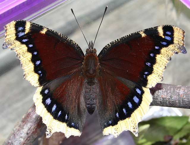 Montana State Butterfly Mourning Cloak Butterfly