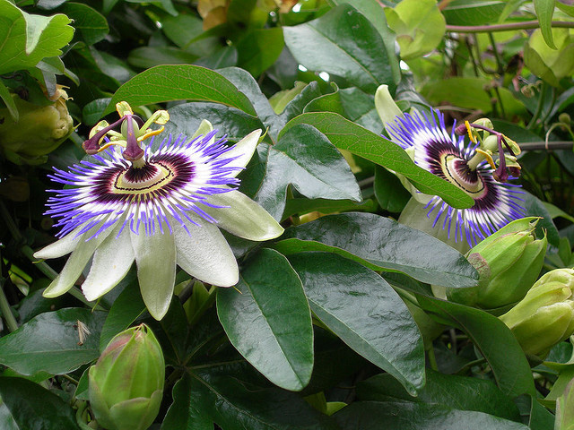 Tennessee State Wildflower Passion Flower