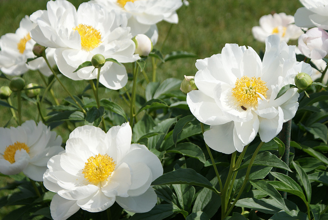 Indiana state flower peony white peony flowers mightylinksfo Image collections