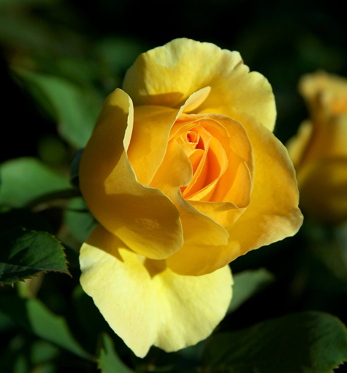 National flower the rose images a perfect yellow rose mightylinksfo