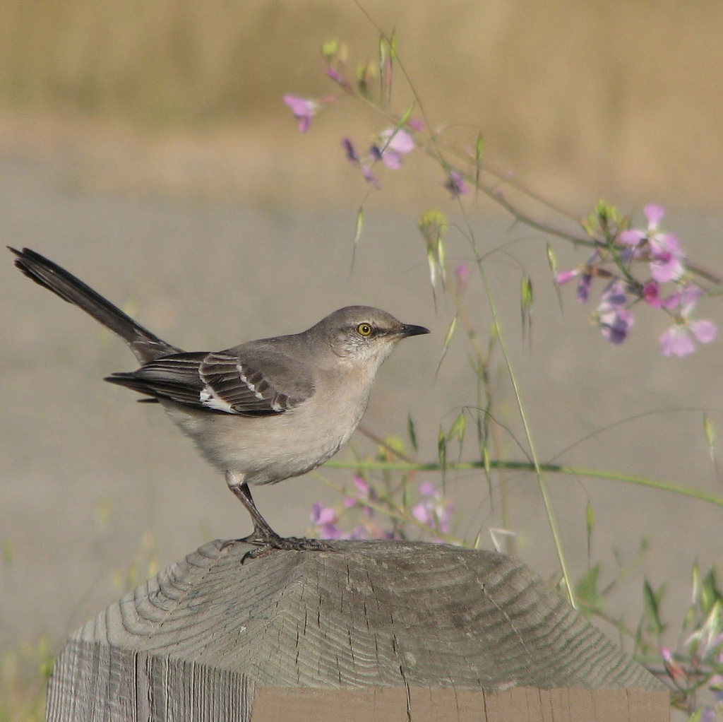 northern mockingbird posing on a post