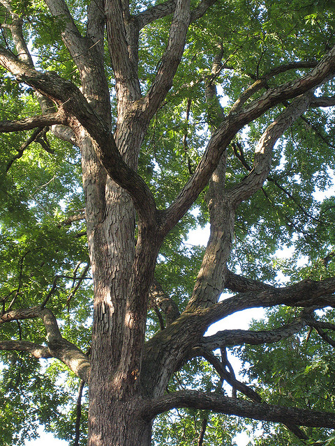 maryland state tree white oak